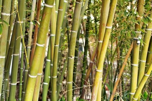 Poster Bamboe Bambusoideae Green bamboo trunks