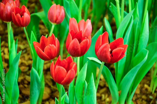 Foto auf Leinwand Tulpen Tulip plants in the indoor garden.