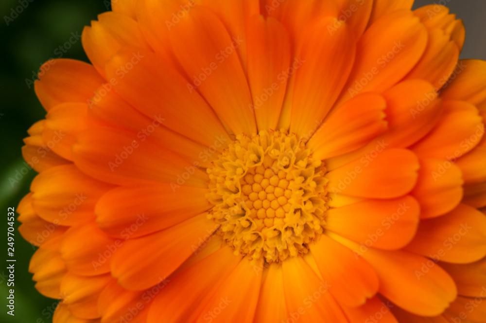 Fototapety, obrazy: calendula officinalis orange flower blossom