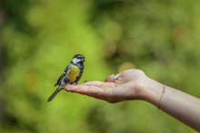 The Tit Sits On One's Hand, Birds And Animals In Wildlife, Closeup Perspective Of A Colorful Cute Titmouse Sitting On A Girl's Hand