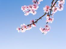 Japanische Kirschblüten In Voller Blüte Im Frühling
