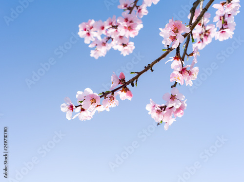 Fotografie, Obraz  Japanische Kirschblüten in voller Blüte im Frühling