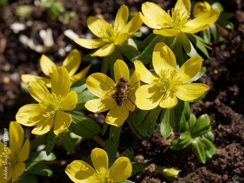 Eranthis hyemalis - Eranthe d'hiver ou hellébore d'hiver aux fleurs jaune or au Canvas Print