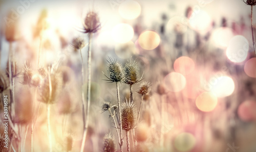 Photo Dry thistle - burdock in meadow, wild plant lit by sunlight