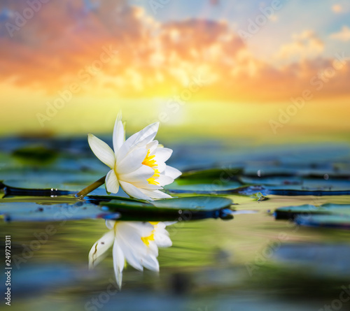 Poster Waterlelies beautiful white water lily on the lake at the sunset