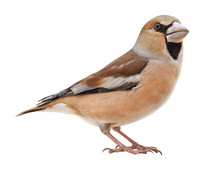 Female Hawfinch (Coccothraustes Coccothraustes), Isolated On White Background