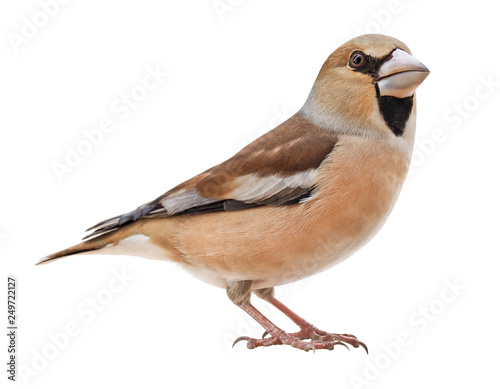 Cuadros en Lienzo Female Hawfinch (Coccothraustes coccothraustes), isolated on white background