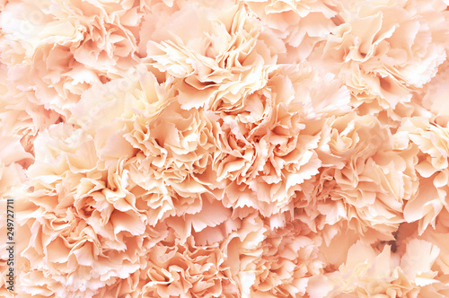 Photo Summer blossoming delicate carnation blooming flowers festive background, pastel