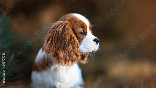 Fototapeta Portrait Cavalier King Charles Welpe Hund