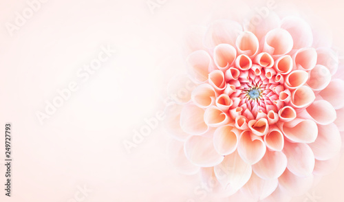 Summer blossoming delicate dahlia blooming flowers festive background, pastel and soft bouquet floral card, toned	 - 249727793