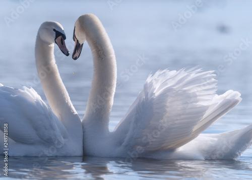 Poster Cygne Schwan Paarung Herz
