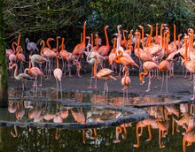 Large Group Of American Flamingos Standing Together At The Water Coast, Colorful And Tropical Birds From The Galapagos Islands
