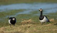 Barnacle Geese (Branta Leucopsis) On Grassland In Scotland