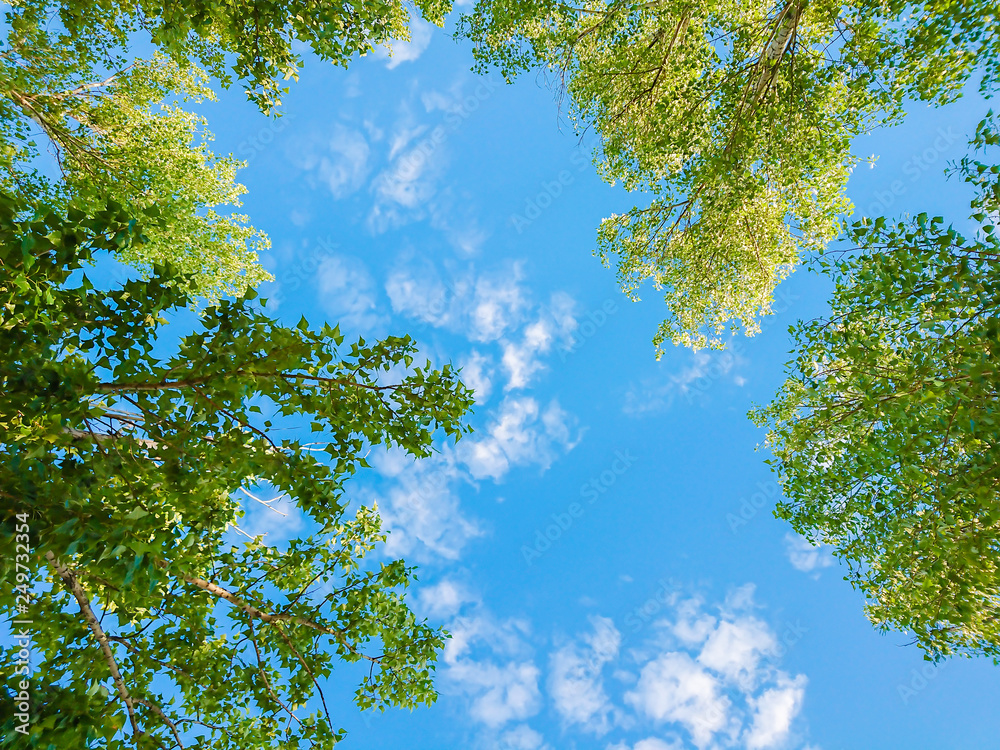 Fototapeta Green foliage of trees against blue sky and clouds. Spring or summer Sunny day.
