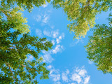 Fototapeta Na sufit - Green foliage of trees against blue sky and clouds. Spring or summer Sunny day.