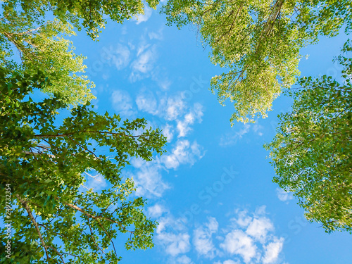 Fototapety na sufit   green-foliage-of-trees-against-blue-sky-and-clouds-spring-or-summer-sunny-day