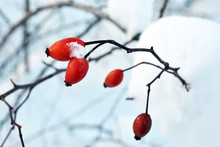 Branch Of Ripe Wild Rose Berries On The Background Of White Snow