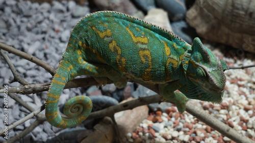 Poster Chamaleon chameleon on white background