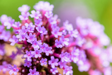 Close-up Verbena Bonariensis F...