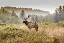 Elk In The Wilderness