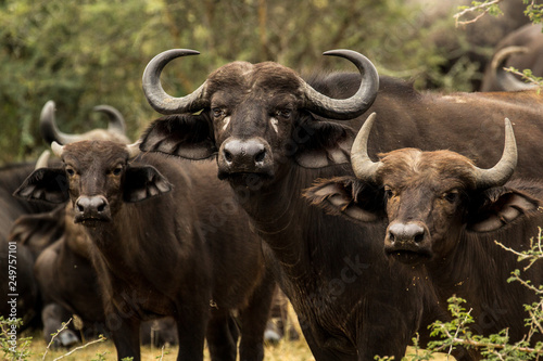 Wild cape buffalo in Uganda Africa