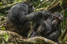 Wild Male Chimpanzee In Kibale...