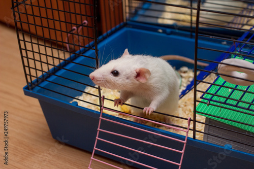 Pet rat looking out from an open cage Canvas Print