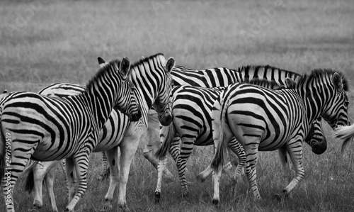 In de dag Zebra Zebras in the african bush: safari photography