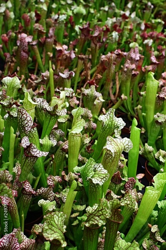 Fotografía  Foliage of Sarracenia carnivorous trumpet pitcher plants
