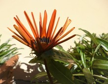 Bright Orange Flower Of Gazani...