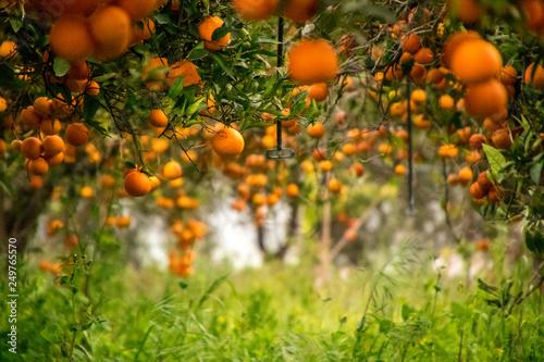 Obraz na plátně Orange Orchid