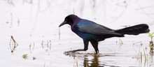 Boat-tailed Grackle In Water