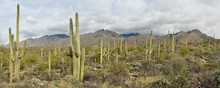 A Forest Of Saguaro Cactus In The Catalina Mountains Of Coronado National Forest Outside Tucson, Arizona.