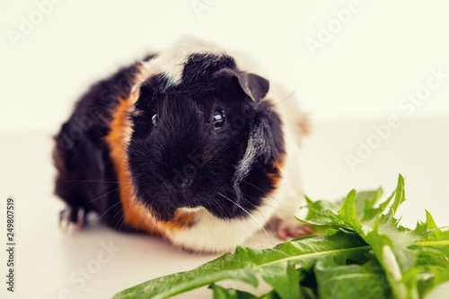 Fotografía  black,white and red guinea pig withgreen feed