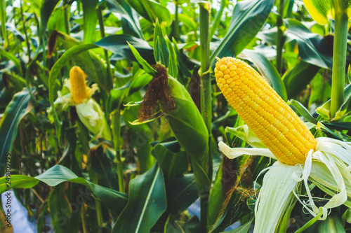 Canvas Print Corn cob with green leaves growth in agriculture field outdoor