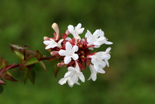 Branch Of Linnaea Grandiflora Or Abelia Grandiflora Or Glossy Abelia Dense Semi Evergreen Shrub Densely Covered With Small Glossy Oval Dark Green Leaves And Clusters Of Pink Tinged White Bell Shaped F