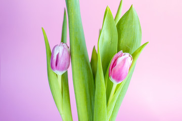 Pink tulips. Bouquet of flowers on a pink background. Spring festival.