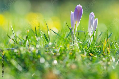 Foto op Canvas Krokussen Blühender Krokus auf grüner Wiese im Frühling. Geschlossene Krokusse im Frühling.