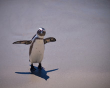 Solitary African Penguin Looki...
