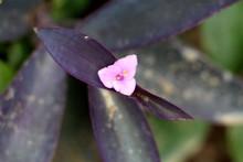 Purple Heart Or Tradescantia P...