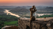 Monkey Drink From A Coconut Over The Temple In Hampi India Karnakata