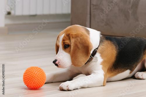 Cute five month old beagle puppy playing with spiky ball dog toy indoor Tapéta, Fotótapéta