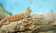 Central Bearded Dragon (Pogona...