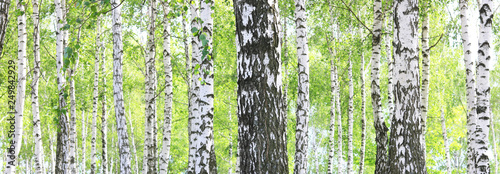 Tuinposter Berkbosje Beautiful birch trees with white birch bark in birch grove