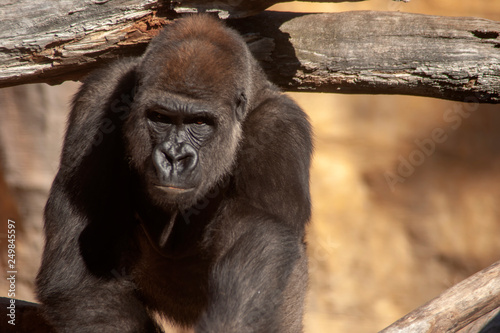 Animales salvajes, Gorila