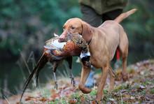 Gun Dog Carrying Dead Pheasant