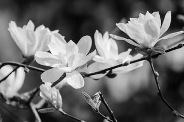 Obraz na Szkle Czarno-Biały Magnolia spring flowers