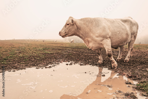 Photo White cow on grazing in the morning autumn fog