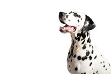 Cute Dalmatian Dog Portrait With Tongue Out On White Background. Dog Squints. Place For Text