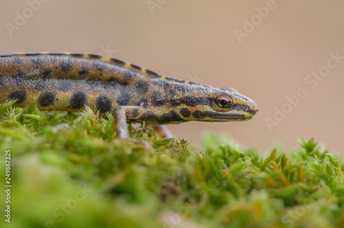 The smooth newt, also known as the common newt Lissotriton vulgaris formerly Tri Wallpaper Mural